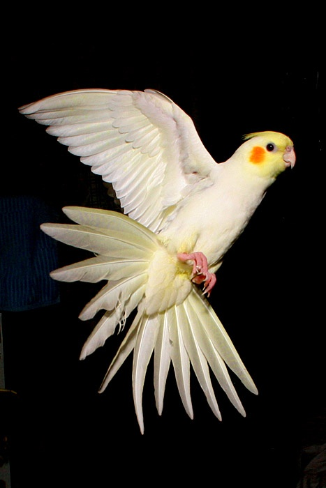 купить попугая корелла в омске